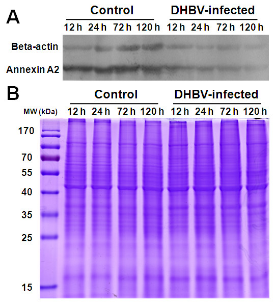 Confirmation of the differentially expressed proteins of annexin A2 and beta-actin by Western blot . The equal cell lysates of control and DHBV infected PDHs at 12, 24, 72 and 120 h post-infection were separated by SDS-PAGE, and detected by Western blotting with mouse anti-beta-actin and anti-duck annexin A2 as primary antibodies and then followed by horseradish peroxidase-conjugated goat anti-mouse IgG as secondary antibody (A). The same amount protein of each sample were applied to a parallel SDS-PAGE gel and stained with Coomassie brilliant blue (B).