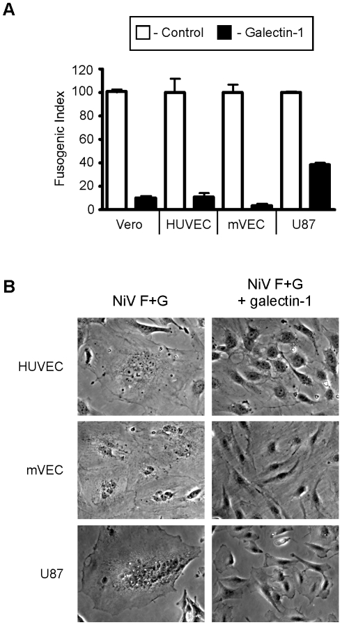 Galectin-1 blocks NiV-F and G mediated syncytia formation of endothelial and glial cells. A , Quantification of galectin-1 inhibition. PK-13 (ephrinB2 negative) cells expressing NiV-F and NiV-G were added to monolayers of ephrinB2 positive cells, Vero (control), HUVEC, mVEC, and U87. Heterologous fusion in the absence and presence of 20µM galectin-1 (white and black bars respectively) were quantified as described in Experimental Procedures. Data are mean ± SD of triplicate samples from one of three replicate experiments. B , Representative images of cell fusion in the absence or presence of galectin-1. Left panels show multinucleated syncytia in the indicated cell type. Right panels are cells treated with galectin-1 (20×).