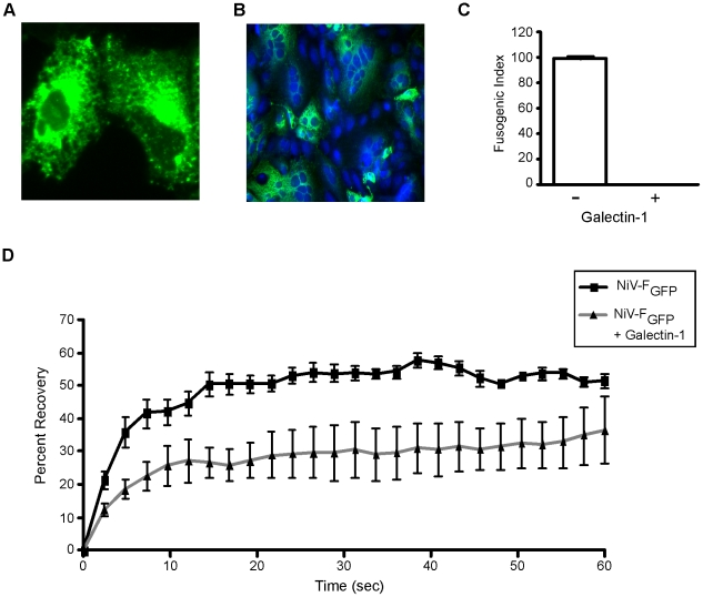 Galectin-1 interferes with lateral movement of NiV-F on the plasma membrane. A , NiV-F GFP expression on the surface of two individual Vero cells. B , NiV-F GFP promotes cell fusion when transfected into Vero cells with NiV-G. (20×) C , Galectin-1 inhibits fusion mediated by NiV-F GFP . Fusion of Vero cells in the absence (−) or presence (+) of 20µM galectin-1 was measured as in Fig. 1 . D , Galectin-1 inhibited fluorescence recovery after photobleaching. NiV-F GFP transfected Vero cells were treated with buffer control (black line with black squares) or 20µM galectin-1 (grey line with black triangles), and a portion of the membrane was bleached and measured for fluorescent recovery (y-axis) as a function of time in seconds (x-axis). Data are mean ± SD of six replicate measurements from one of two independent experiments.