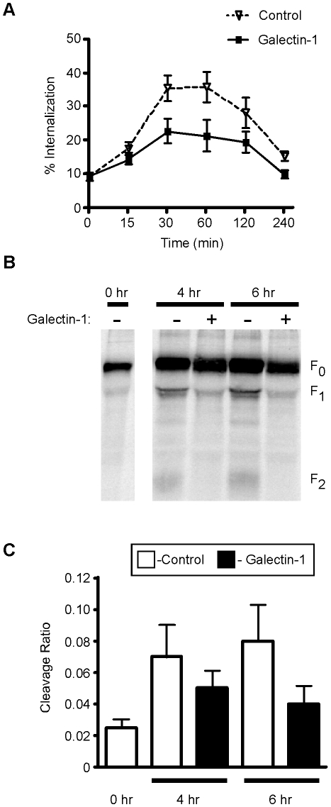 Galectin-1 inhibits NiV-F 0 endocytosis and maturation. A , Galectin-1 decreases internalization of NiV-F 0 from the plasma membrane. Cells transfected with NiV-F were cell surface biotinylated, then incubated in the presence of 20µM galectin-1 (bold line), or buffer control (dashed line), for the indicated times to allow internalization. Internalized biotinylated NiV-F was quantified by ELISA. Percent internalization was determined as the amount of internalized biotinylated NiV-F compared to total biotinylated NiV-F at the initial timepoint. Data are mean ± SEM for seven replicate experiments. B , Galectin-1 inhibits NiV-F 0 proteolytic processing. 293T cells expressing NiV-F were pulse-labeled with 35 S-methionine, then chased for 4 or 6 hrs in the presence or absence of galectin-1. NiV-F was immunoprecipitated with anti-NiV-F polyclonal sera and proteolytic processing analyzed by immunoblotting. C , Graphic representation of data in B. Cleavage ratio was determined as the amount of processed NiV-F (F 1 +F 2 ) compared to total NiV-F protein. Data are mean ± SEM of three replicate experiments.