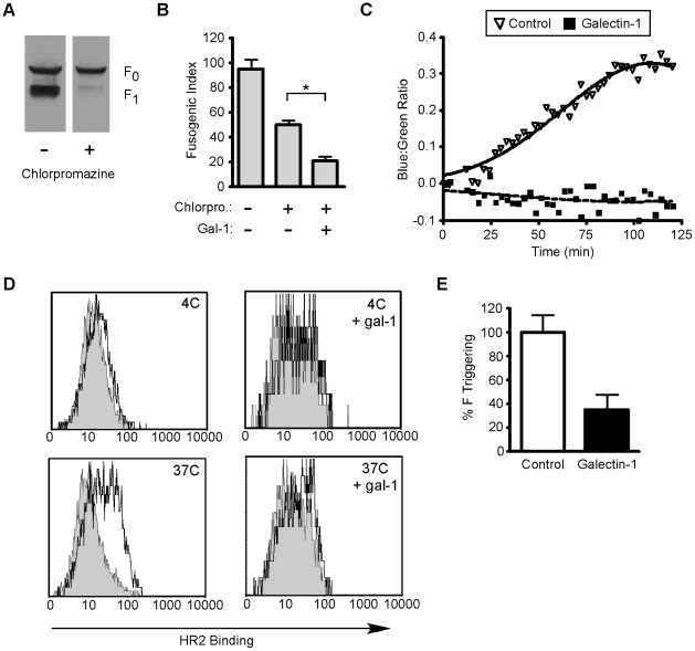 Galectin-1 inhibits function of mature NiV-F. A , Chlorpromazine inhibits maturation of NiV-F 0 . PK-13 were transfected with NiV-F in the absence or presence of chlorpromazine (50µM). Cells were incubated overnight and NiV-F 0 and NiV-F 1 detected by immunoblotting. B , Galectin-1 inhibits heterologous cell fusion in the presence of chlorpromazine. BSRT7 ephrinB2 positive cells were added to a monolayer of PK13 cells transfected with NiV-F, NiV-G and a luciferase construct with a T 7 dependent promoter in the presence or absence of chlorpromazine (50µM) and galectin-1 (20µM). * p = 0.0002, calculated using Student's t test. C , Fusion kinetics in the presence or absence of galectin-1. NiV-G and NiV-F were expressed in effector PK13 cells, and the relative rate of fusion assessed on target 293T cells loaded with CCF2 dye. Relative fusion is the ratio of blue to green fluorescence from NiV-G and NiV-F-transfected effector cells minus the ratio of background blue to green fluorescence from empty-vector (pcDNA3)-transfected cells. Each data point is the mean of three independent experiments. D , Galectin-1 inhibits the ability of NiV-F to be triggered for membrane fusion. CHO cells expressing NiV-F and NiV-G were mixed with CHO cells (negative control, grey shaded) or CHOB2 cells (ephrinB2 positive, black line) for 1.5 hr at 4°C. Cell mixtures were brought to 37°C or kept at 4°C for 1.5 hr with 1 µM biotinylated HR2 peptide, in the presence or absence of galectin-1GG; top, 4°C without and with galectin-1; bottom, 37°C without and with galectin-1. E , Inhibition of F triggering at 37°C; data are mean fluorescence intensity of triplicate determinations ± SEM. See also Supplementary Figure S1 .
