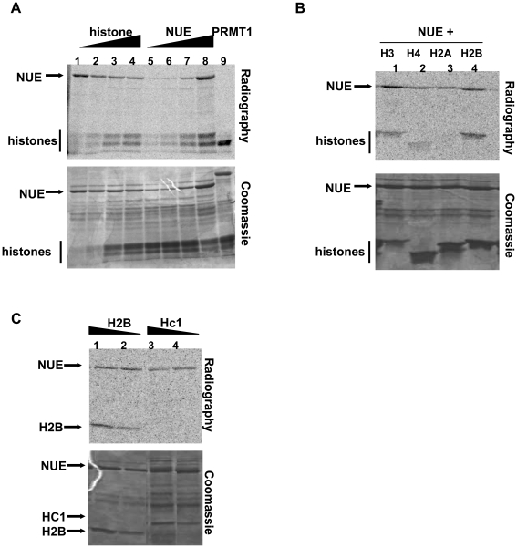 NUE methylates mammalian histones in vitro . (A–C) Recombinant GST-NUE was purified from E. coli and incubated with either core histones (A), individual recombinant histones (B) or recombinant His-tagged chlamydial protein Hc1 (C) in the presence of 14 C-SAM for 1 h at 30°C. Samples were then separated on a 15% SDS-PAGE gel and stained with Coomassie blue prior to gel dehydration and 24 h exposure to capture radioactive events. PRMT1, a histone H4 methyltransferase, was used as a positive control in panel A. Various concentrations of histone H2B were used as a positive control in panel C.
