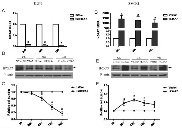 <t>HOXA7</t> regulates granulosa cell proliferation . KGN cells were transiently transfected with scrambled siRNA or HOXA7 siRNA and the effect of HOXA7 knockdown was verified at the mRNA level by real-time PCR (A) and protein level by Western blotting (B). (C) After 36 h of <t>transfection,</t> KGN cells were reseeded into a 96-well plate and the cell viability was detected by MTT assay. SVOG cells were transiently transfected with control vector or HOXA7 plasmid and the effect of HOXA7 overexpression was verified at the mRNA level by real-time PCR (D) and protein level by Western blotting (E). (F) After 36 h of transfection, SVOG cells were reseeded into a 96-well plate and the cell viability was detected by MTT assay. The data derived from at least three separate sets of experiments were standardized to the corresponding control. a, P