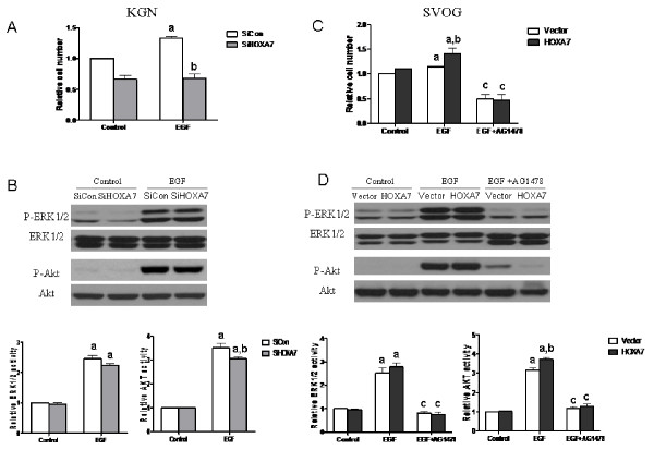 EGF-induced granulosa cell proliferation and activation of downstream signaling are modulated by the expression of HOXA7 . KGN cells were transiently transfected with scrambled siRNA or HOXA7 siRNA. SVOG cells were transiently transfected with control vector or HOXA7 plasmid. KGN cells (A) and SVOG cells (C) were reseeded into a 96-well plate after 36 h of transfection. Cells were serum starved for 12 h and incubated in serum-free medium containing 100 ng/mL EGF and/or AG1478, or were left untreated (Control) for 48 h. Cell viability was measured by the MTT assay. KGN cells (B) and SVOG cells (D) were serum starved for 12 h after 36 h transfection and incubated in serum free medium containing 100 ng/mL EGF and/or AG1478, or left untreated (Control) for 10 min. The phosphorylation of ERK1/2 or Akt was determined by Western blotting with specific antibodies. The data derived from at least three separate sets of experiments were standardized to the corresponding control, and the statistical results are presented in the column graphs. a, P
