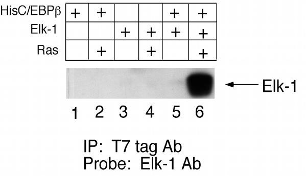 Elk-1 coimmunoprecipitates with p35-C/EBPβ, but only in the presence of activated Ras. COS-7 cells were transfected with 10 μg of pCDNA3.1/His-p35-C/EBPβ (lanes 1, 2, 5, 6) and 10 μg of pCMV-Elk-1 (lanes 3, 4, 5, 6) in the presence and absence of 2 μg of pCMV-Ras.V12 as indicated. Cells were harvested 40 h post-transfection, and whole cell lysates were incubated with T7tag Ab-agarose beads, followed by immunoblotting of precipitated proteins with Elk-1 Ab.