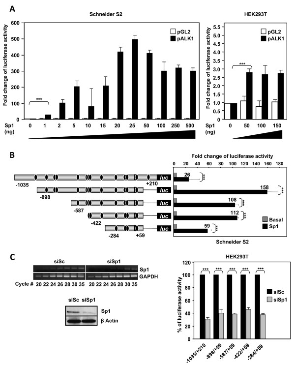 Effect of Sp1 expression on ACVRL1 promoter activity . (A) Dose-response effect of Sp1 on the transcriptional activity of ACVRL1 promoter in Schneider S2 and HEK293T cells. S2 (Sp1-less) and HEK293T cells were cotransfected with the pGL2 empty vector or the ACVRL1 promoter construct -1,035/+210 and with increasing amounts of the Sp1 expression vector (pPac-Sp1 and pCIneo-Sp1, respectively). Luciferase activity was corrected with β-galactosidase activity and expressed as fold induction of the transcriptional activity of pALK1 in the absence of exogenous Sp1. (B) Left, scheme showing the distribution of the different Sp1 consensus binding sites along the ACVRL1 promoter (black ovals) in the different constructs. Right, transient transfection of Schneider S2 cells with 25 ng of pPac-Sp1 and the indicated ACVRL1 promoter constructs. Fold-induction values respect to basal activity are indicated on top of each bar. (C) Effect of Sp1-knock down on ACVRL1 transcriptional activity. HEK293T cells were transfected with Sp1 siRNA. Left, Sp1 mRNA and protein levels were measured by semiquantitative RT-PCR and western blot after 48 hr. Right, 24 hr after the siRNA Sp1 transfection, the different ACVRL1 promoter constructs were transfected. The transcriptional activity of all the fragments was measured and normalized by the β-galactosidase activity. Basal pALK1 activity (100%) and the reduction after Sp1 silencing (grey bars) are shown. In every case, Sp1 suppression resulted at least in a decrease of 50% in ACVRL1 transcriptional activity (***p