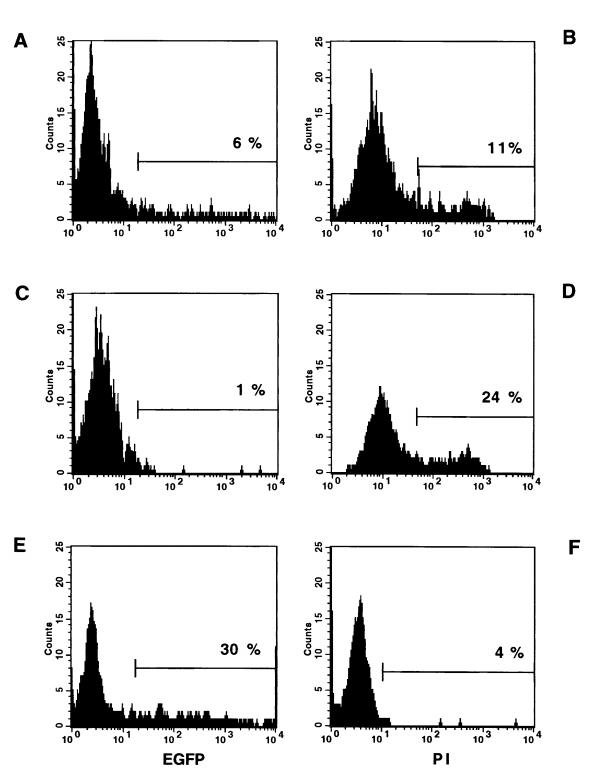 Representative results of flow cytometric analysis of transfected rat hepatic stellate cells and rat myofibroblasts in comparison to NIH/3T3 cells using FuGENE™6 vehicle. For this experiment rHSCs, rMFBs and NIH/3T3 cells were transfected 2 days after seeding with 2 μg reporter plasmid complexed with 5 μl FuGENE™6. <t>FACS</t> analysis was performed 48 hours after transfection. Cultured cells were trypsinized under standard conditions and flow cytometric measurements were performed immediately after collection of cells. Fluorescence signals were recorded with a flow cytometer <t>FACS-Calibur</t> (Becton Dickinson, Sparks, MD) using a 488 nm excitation and a 530 ± 30 nm emission fluorescence filter for enhanced green fluorescence protein (EGFP) and a 630 ± 11 nm emission fluorescence filter for propidium iodide (PI), respectively. Data were acquired and analyzed with the CellQuest™ software version 3.1 (Becton Dickinson). Histograms of fluorescence intensities in EGFP (A, C, E) and PI (B, D, F) channels are shown for rHSC (A, B) , rMFB (C, D) and reporter cell line NIH/3T3 (E, F) , respectively. To establish background for fluorescence and to set gates for data acquisition, mock-transfected cells (not shown) were used. Mean fluorescence intensity was used to calculate levels of EGFP expression. Cells that took up PI were deemed nonviable. Nontransfected cells did not show fluorescence in EGFP channel.