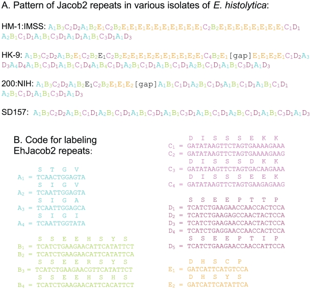 EhJacob2 PCR products are distinct for each axenized strain. A. Coded representations of EhJacob2 repeats from PCR products shown in Fig. 3 . Complete sequences were obtained for HM-1:IMSS and SD157. Gaps in the middle of sequences in the HK-9 and 200:NIH products are marked. B. Five EhJacob2 repeats are each assigned a letter (A to E) and a color (as described in Fig. 1 ). The nucleotide sequences coding for each repeat are numbered in the order of their frequency of occurrence in the sequenced products.