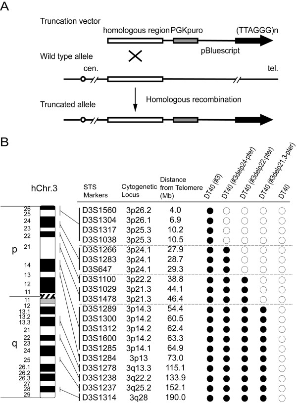 Construction of truncated chromosome 3 in DT40 cells by telomere seeding . (A) Targeting strategy of generating truncated chromosome. (B) Summary of PCR analyses on truncated chromosomes in DT40 cells. Twenty STS markers on chromosome 3 examined were shown. Solid circles and open circles represent presence and absence of truncated allele at tested loci in DT40 cells, respectively.