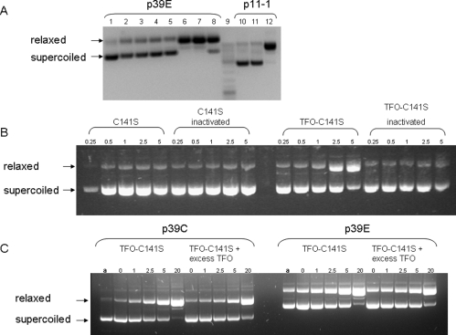 Effect of TFO-141S treatment on plasmid conformation. (A) Agarose gel electrophoresis of plasmids p39E and p11-1 treated with the TFO, WT M.SssI, C141S, or the TFO−C141S conjugate: lane 1, untreated; lane 2, without TFO−C141S; lane 3, TFO; lane 4, M.SssI; lane 5, C141S; lane 6, TFO−C141S; lane 7, TFO- C141S without SAM; lane 8, 100-fold excess of TFO and TFO−C141S; lane 9, marker; lane 10, without TFO−C141S; lane 11, C141S; lane 12, TFO−C141S. (B) Agarose gel electrophoresis of plasmid p39E treated with active and heat-inactivated C141S and TFO−C141S. The supercoiled plasmid was incubated at 30 °C for different time points as indicated above the lanes (hours). Then the samples were deproteinized before electrophoresis as described in Experimental Procedures . (C) Agarose gel electrophoresis of plasmid p39C and p39E treated with the TFO−C141S conjugate only or in the presence of 100-fold excess of TFO. Plasmids were incubated as in part B. Lane a is purified plasmid.