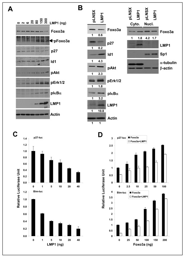 LMP1 suppresses the expression and transcriptional activity of Foxo3a . (A) HEK-293 cells were transfected with increasing amount of the LMP1 vector (pSG5-LMP1) as indicated. Forty-eight hours post-transfection, cells were harvested for immunoblotting analysis. For the detection of Id1 and Foxo3a, cells were cultured in serum free medium for 6 hrs before harvesting. (B) Total cell lysates of NP69-pLNSX control and NP69-LMP1 cells were analyzed by immunoblotting. For detection of cytoplasmic and nuclear proteins, cells were treated with protease inhibitor, MG132 (20μM) for 4 hrs prior to harvesting. Relative protein expression was calculated using densitometry with the control set at 1. (C) HEK-293 cells were transfected with various doses of the LMP1 expression vector (pSG5-LMP1) and reporter constructs for p27 kip or Bim. (D) HEK-293 cells were transfected with various doses of GFP-Foxo3a and the p27 kip or Bim promoter reporter constructs, together with 40 ng LMP1 expression vector (pSG5-LMP1) or control empty vector (pSG5). Cells were harvested for luciferase reporter analysis 48 hrs post-transfection. Luciferase activity was normalized to β-gal activity. Data shown are the mean ± s.d. of three separate experiments. The relative luciferase unit (RLU) is plotted relative to that of the reporter alone (set at 1).