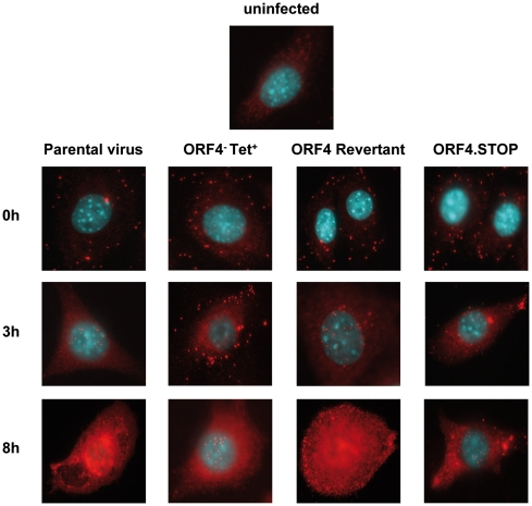 Delayed infection kinetics of the ORF4 − Tet + and ORF4.STOP mutants as determined by fluorescence microscopy. For immunofluorescence staining, NIH3T3 cells were seeded on coverslips in 12 well plates the day before staining. Cells were infected at a multiplicity of infection of 5–10 for 1h at 4°C to allow adsorption. Then, cells were washed three times and were either immediately (0h – upper panel) fixed with 4% paraformaldehyde or prewarmed medium was added and the cells were further incubated at 37°C. Three hours later (3h – median panel) or eight hours later (8h – lower panel), cells were fixed and permeabilized with 0.1% Triton-X100. Virus particles were visualized with polyclonal rabbit anti-MHV-68 antiserum followed by goat anti-rabbitCy3 antibody. Stained cells were mounted in ProLong® Gold antifade reagent with DAPI and analysed by using a Zeiss Axiovert 200M microscope. Cells were viewed with a 100× oil immersion objective. The top panel shows staining of uninfected cells as control. One representative experiment of 5 is shown.