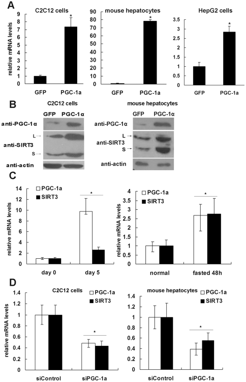 PGC-1α regulates the expression of SIRT3. A , Differentiated C 2 C 12 cells (left panel), primary hepatocytes isolated from mouse liver (middle panel) and HepG2 cells (right panel) were infected with adenoviruses expressing GFP (control) or PGC-1α. Cells were harvested 48 h after infection, and total RNA was extracted. The mRNA levels of Sirt3 were quantified by qPCR, normalized to β-actin, and expressed relative to the GFP-expressing control cells. B , C 2 C 12 myotubes and primary hepatocytes were treated as described in Panel A, and SIRT3 protein level was determined by western blotting. Two specific bands of SIRT3 in C 2 C 12 (left panel) and primary hepatocytes (right panel) were detected. L, long form of mSIRT3 (approximately 37 kDa). S, short form of mSIRT3 (approximately 28 kDa). C, left panel , C 2 C 12 myoblasts were induced to differentiate into myotubes. Cells were harvested on day 0 (before differentiation) and day 5 (after differentiation), and total RNA was isolated. C, right panel , Total RNA was extracted from normal or fasted mouse livers. The mRNA levels of PGC-1α and Sirt3 were quantified by qPCR, normalized to β-actin and expressed relative to levels in the control. D , Differentiated C 2 C 12 (left panel) and primary hepatocytes (right panel) were infected with adenovirus expressing luciferase shRNA (siControl) or PGC-1α shRNA (siPGC-1α). Cells were harvested 48 hours after infection, and total RNA was extracted. The mRNA levels of Sirt3 and PGC-1α were quantified by qPCR, normalized to β-actin, and expressed relative to the control cells. *, P