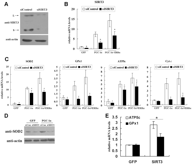 SIRT3 mediates the PGC-1α induction of mitochondrial-related genes in C 2 C 12 skeletal muscle cells. A , Knockdown of mSIRT3 protein level with shRNA in C 2 C 12 myotubes. C 2 C 12 cells were induced to differentiate into myotubes and infected with adenovirus expressing either control shRNA (siControl) or SIRT3 shRNA (siSIRT3). Cells were harvested 48 h after infection, and protein was extracted for western blotting with the indicated antibodies. B , mSirt3 mRNA level was reduced by shRNA against mSirt3 in C 2 C 12 myotubes. C 2 C 12 myoblasts were induced into myotubes and infected with the indicated adenovirus expressing siSIRT3 or siControl, in the presence of Ad-GFP or Ad-PGC-1α and/or Ad-ERRα. Total RNA was extracted 48 h after infection, and Sirt3 mRNA level was determined by qPCR, normalized to β-actin, and expressed relative to control cells infected with Ad-GFP. C , Knockdown of SIRT3 decreases the PGC-1α induction of mitochondrial-related gene expression. C 2 C 12 cells were treated as described in Panel B. The mRNA levels of SOD2, GPx1, ATP5c and Cyt c were measured by qPCR. D , C 2 C 12 cells were treated as described in Panel B. The protein levels of SOD2 were determined by western blotting. E , Overexpression of SIRT3 increased the mRNA levels of GPx1 and ATP5c. C 2 C 12 myotubes were infected with adenoviruses expressing GFP or long-form mSIRT3. Cells were harvested and total RNA was extracted 48 h after infection. The mRNA levels of GPx1 and ATP5c were measured by qPCR, normalized to β-actin, and expressed relative to control cells infected with Ad-GFP. Values represent the mean of three independent experiments performed in triplicate. *, P
