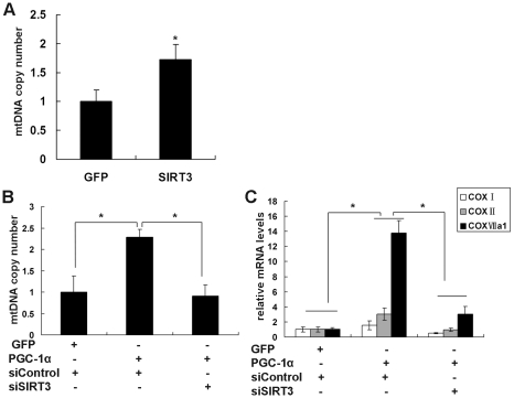 SIRT3 mediates the PGC-1α induction of mitochondrial biogenesis in C 2 C 12 myotubes. A , SIRT3 overexpression stimulated mitochondrial biogenesis. C 2 C 12 myotubes were infected with Ad-GFP or Ad-SIRT3. Cells were harvested 48 h after infection, and the DNA level of the mitochondrial-encoded COX II gene was measured by qPCR, normalized to DNA levels of the nuclear-encoded gene cyclophilin A, and expressed relative to levels in control cells expressing GFP, which were set to 1. B , Knockdown of SIRT3 inhibited the induction of mitochondrial biogenesis by PGC-1α. C 2 C 12 myotubes were infected with the indicated adenovirus (Ad-GFP, Ad-PGC-1α, Ad-siControl, or/and Ad-siSIRT3). Mitochondrial DNA copy number was measured as described in panel A. C , Knockdown of SIRT3 inhibited the induction of mRNA level of COX I, COX II and COX VIIa by PGC-1α. C 2 C 12 myotubes were infected with the indicated adenovirus (Ad-GFP, Ad-PGC-1α, Ad-siControl, and/or Ad-siSIRT3). Cells were harvested and total RNA was extracted 48 h after infection. The mRNA levels of mitochondrial-encoded (COX I and COX II) and nuclear-encoded (COX VIIa) subunits of COX were measured by qPCR, normalized to β-actin, and expressed relative to control cells infected with Ad-GFP and Ad-siControl. Values represent the mean of three independent experiments performed in duplicate. *, P