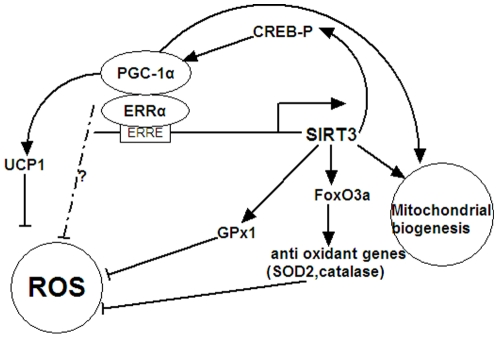 Scheme illustrating a regulatory pathway including PGC-1α and SIRT3 governing ROS level and mitochondrial biogenesis. PGC-1α coactivates ERRα to stimulate the expression of mSIRT3, which, in turn, increases the expression of the ROS-detoxifying enzymes GPx1 and SOD2 to suppress the ROS levels. Meanwhile, ectopic expression of SIRT3 leads to an increase of CREB phosphorylation, which subsequently stimulates the expression of PGC-1α and its target gene UCP1, finally decreasing intracellular ROS level. SIRT3 is also involved in mitochondrial biogenesis.