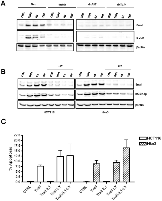 Macrophages, IL-1β and TNFα stabilize Snail in a NF-κB/AKT/Wnt dependent manner. A: Macrophages, IL-1β and TNFα stabilize Snail in a NF-κB/AKT/Wnt dependent manner. HCT116 cells were transfected with dnIκB, dnAKT or dnTCF4 and were treated with IL-1β or TNFα, or were cultured with THP1 macrophages as indicated. The levels of Snail and c-jun were determined by immunoblotting. B: The levels of Snail and <t>pGSK3β</t> were determined by immunoblotting in Hke-3 cells that were treated with IL-1β, TNFα or were co-cultured with macrophages in the absence or the presence of LY 294002 for 24 hours. C : HCT116 and Hke-3 cells were treated with TRAIL in the absence or the presence of IL-1β and LY294002, as indicated. The experiment was performed three times.