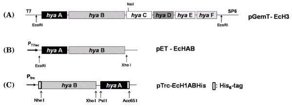 Scheme for construction of the hydrogenase 1 expression vector . Full-length hya operon was cloned into pGEM-T to generate (A) pGemT-EcH3, and two subunit genes ( hya A hya B) comprising the core enzyme cloned into pET-21b and pTrcHisC expression vectors to generate (B) pET-EcHAB for the analysis of hydrogen production in recombinant BL21 and (C) pTrc-EcH1ABHis for the analysis of protein expression with His 6 -tag, respectively. His 6 -tag was fused to each subunit gene in pTrc-EcH1ABHis for facile purification of hydrogenase (Refer to Materials and Methods for scheme of His 6 -tag fusion).