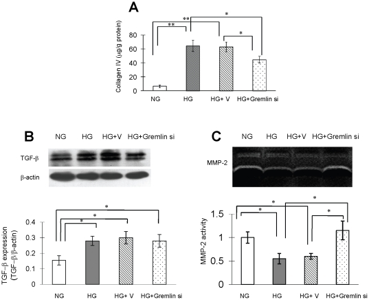 Collagen type IVand TGF-βexpression and MMP-2 activity in mouse mesangial cells cultured under high glucose conditions. Mouse mesangial cells were cultured in RPMI 1640 and transfected with pBAsi mU6 Neo or pBAsi mU6 Neo gremlin siRNA plasmid as described in the methods . Culture medium was collected for measurement of collagen type IV concentration by radio-immunoassay, and cells were subjected to Western blot analysis to determine MMP-2 and TGF-βexpression levels 48 hours after glucose stimulation. ( A ) Increased collagen type IV accumulation is observed in the HG group, and gremlin siRNA plasmid transfection significantly inhibits collagen type IV secretion. ( B ) Compared to the normal glucose control group (NG), TGF-β expression is significantly increased under high glucose conditions, and the HG stimulated TGF-β expression remains the same after gremlin siRNA transfection. ( C ) Compared with the NG group, MMP-2 activity in culture medium is significantly decreased in the HG and HG+V groups, and this is prevented by transfection with gremlin siRNA plasmid. (* p