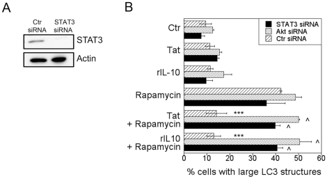STAT3 and Akt are required for HIV-1 and IL-10 to inhibit autophagy. A , MonoMac6 cells were transfected with siRNA against STAT3 or control siRNA. Expression of STAT3 and actin were examined 72 h post-transfection. B , MonoMac6 cells transfected with control siRNA or siRNA directed against STAT3 or Akt were transfected with LC3-eGFP. Cells were incubated with or without HIV-1 Tat or IL-10 (both at 100 pg/ml) overnight followed by stimulation with rapamycin. Autophagy was assessed by examining expression of large LC3 + structures. Data are representative of 3 independent experiments presented as means ± SEM; ***p≤0.001, ∧p≥0.05.