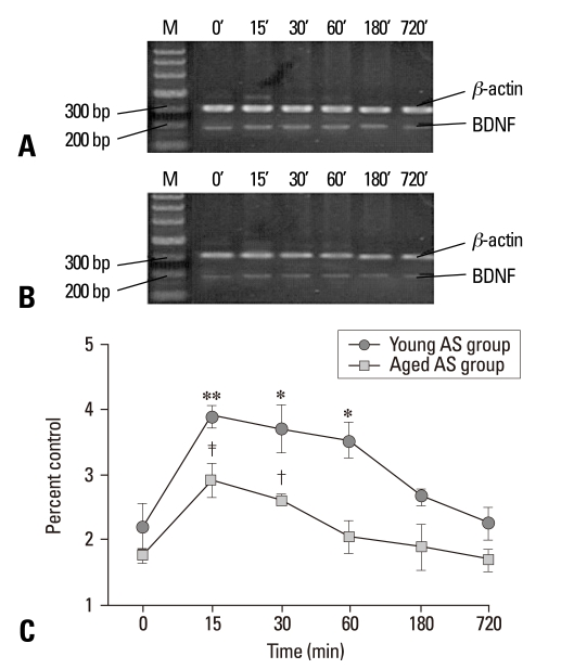 BDNF mRNA expression detected by semiquantitative RT-PCR in control groups (unstressed, 0 min) and young and aged AS groups after a period of different stress performance. Total RNA was isolated from hippocampus and assayed for BDNF at 15, 30, 60, 180, 720 min after stress. (A) Representative electrophoretograms illustrating the expression of BDNF mRNA in the young control and AS groups. (B) Expression of BDNF mRNA in the aged AS group. (C) Quantitative analysis of BDNF mRNA at different time points after stress. The results were calculated as the intensity of the lane of each transcript over the intensity of the β-actin (internal standard) band and expressed as the mean ± SEM. * p