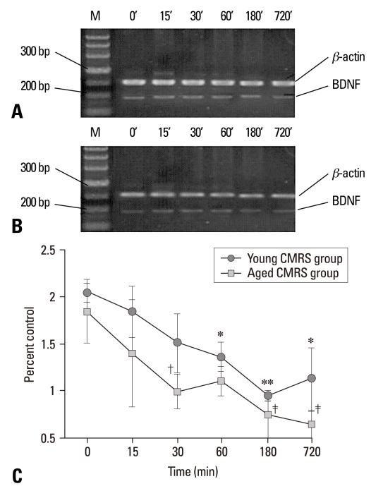 BDNF mRNA expression detected by RT-PCR in the control groups (unstressed, 0 min) and young and aged CMRS groups after a period of different stress performance. Total RNA was isolated from the hippocampus and assayed for BDNF at 15, 30, 60, 180, 720 min after stress. (A) Representative electrophoretograms showing the expression of BDNF mRNA in the young control and CMRS groups. (B) BDNF mRNA expression in the aged control and CMRS groups. (C) Quantitative analysis of BDNF mRNA at different time points after stress. The results were calculated as the intensity of the lane of each transcript over the intensity of β-actin (internal standard) band and expressed as the mean ± SEM. * p