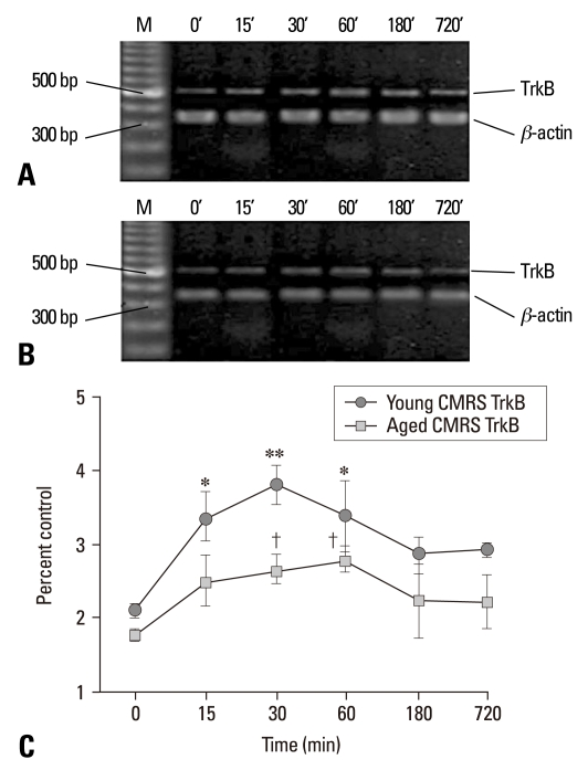 TrkB mRNA expression measured by semiquantitative RT-PCR in the control groups (unstressed, 0 min) and young and aged CMRS groups after a period of different stress performance. Total RNA was isolated from the hippocampus and assayed for TrkB at 15, 30, 60, 180, 720 min after stress. (A) Representative electrophoretograms showing the expression of TrkB mRNA in the young control and CMRS groups. (B) TrkB mRNA expression in the aged control and CMRS groups. (C) Line chart represented the results of quantitative analysis of TrkB mRNA at different time points after stress. The results were calculated as the intensity of the lane of each transcript over the intensity of β-actin (internal standard) band and expressed as the mean ± SEM. * p