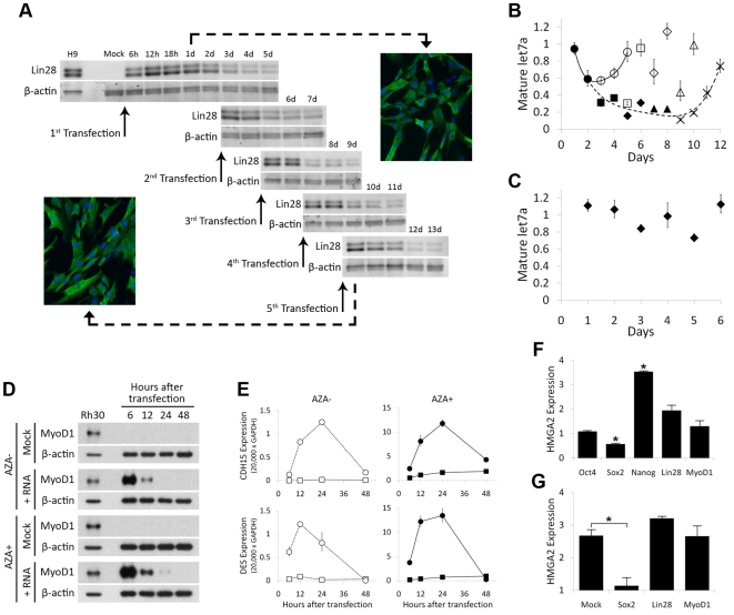 Repeated long-RNA transfection yields sustained, high-level expression of active proteins that modulate downstream targets. A. Sustaining high levels of Lin28 protein expression by frequent transfection with Lin28-encoding RNA. MRC-5 fibroblasts pre-transfected with a cocktail of siRNAs targeting Ifnb1 , Eif2ak2 , Stat2 , and Tlr3 were transfected five times with 0.5 µg of Lin28-encoding RNA and additional siRNA at 48-hour intervals. Cells were lysed at the indicated times, and the amount of Lin28 protein was analyzed by western blot. β-actin was used as a loading control. B. Sustained expression of Lin28 downregulates its target, mature let7 miRNA. Transfections were conducted as in (A). Data points indicate mature let7a levels in cells transfected once (circles), twice (squares), three times (diamonds), four times (triangles), or five times (crosses), relative to the level in mock-transfected cells. A solid smoothed line connects data points corresponding to cells transfected once, and a dashed smoothed line connects data points corresponding to cells transfected five times (dark symbols). U47 RNA was used as a loading control. Error bars indicate the standard error of replicate samples. C. let7a downregulation is Lin28-specific. Cells were transfected as in (A), but with MyoD1-encoding RNA. Error bars indicate the standard error of replicate samples. D. Expression of MyoD1 protein in fibroblasts. Fibroblasts cultured for three days with or without 2.5 µM 5-aza-dC (AZA) were electroporated with 1 µg/50 µL of MyoD1-encoding RNA. Cells were lysed at the indicated times, and the amount of MyoD1 protein in each sample was analyzed by western blot. E. Expression of MyoD1 in fibroblasts activates its normally silent targets, Cdh15 and Des in a methylation-dependent manner. Cells were transfected as in (D), and expression of Cdh15 and Des was measured by RT-PCR at the indicated times (squares, mock-transfected cells; circles, RNA-transfected cells). F. Regulation of Hmga2 expression by reprogramming proteins. Hmga2 expression in fibroblasts transfected with RNA encoding the indicated protein was measured by RT-PCR 24 hours after transfection. Values are given relative to mock-transfected cells. Gapdh was used as a loading control. *p