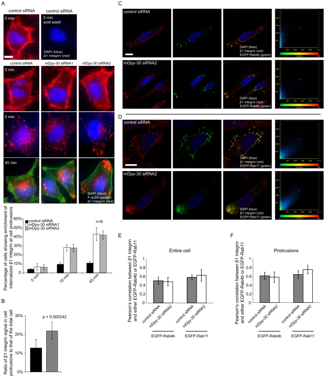 "Colocalization analyses between internalized β1 integrin and EGFP-Rab4b or EGFP-Rab11 recycling GTPases in <t>mDpy-30</t> knockdown cells. HeLa cells were transfected with 20 nM siRNAs for 48 hr and/or <t>cDNA</t> for 24 hr before analysis. (A) Impact of depleting mDpy-30 on the endosomal trafficking of β1 integrin. An anti-β1 integrin antibody was employed to label surface β1 integrin (0°C, 1 hr). After labeling, cells were returned to 37°C for various periods of time before imaging analysis. A brief acid wash was conducted as described in "" Materials and Methods "" before fixation to remove surface-bound antibody and permit the better visualization of internalized β1 integrin. The enrichment of internalized β1 integrin near cell protrusions was scored as described in Fig. 2 . The experiments were performed six times (n = 6) with more than 500 cells scored in each experiment. (B) The fraction of total internalized β1 integrin that appears at cell protrusions was determined from confocal images of cells treated with either a non-targeting control siRNA or mDpy-30 siRNA. Only cells exhibiting internalized β1 integrin at cell protrusions were assayed from both conditions. At least 50 cells from each condition were used for the quantification. The average number of protrusions per cell did not vary significantly in the two conditions (1.2 for control and 1.3 for mDpy-30 siRNA); p-value determined by Student's T-test (C–D) Colocalization analyses of internalized β1 integrin and either EGFP-Rab4b (C) or EGFP-Rab11 (D) using confocal microscopy. An anti-β1 integrin antibody was added to the culture medium (37°C, 45 min) to allow the labeling and internalization of β1 integrin. The graphs at the right indicate the signal intensity of each pixel measured in the single representative Z-section images that appear to the left. The X-axis is the intensity of EGFP-Rab4b or EGFP-Rab11 signal and the Y-axis corresponds to that of internalized β1 integrin. The color on the graph corresponds the relative frequency with which a specific combination of X and Y values is found in all the pixels analyzed, with blue indicating lower frequencies and red higher frequencies. (E–F) Quantification of colocalization between internalized β1 integrin and either EGFP-Rab4b or EGFP-Rab11 in the entire cell (E) or the protrusions (F) of cells depleted of mDpy-30. The Pearson's correlations were determined as described in Fig. 3C and 3D . Error bars: standard deviation; scale bars: 10 µm."
