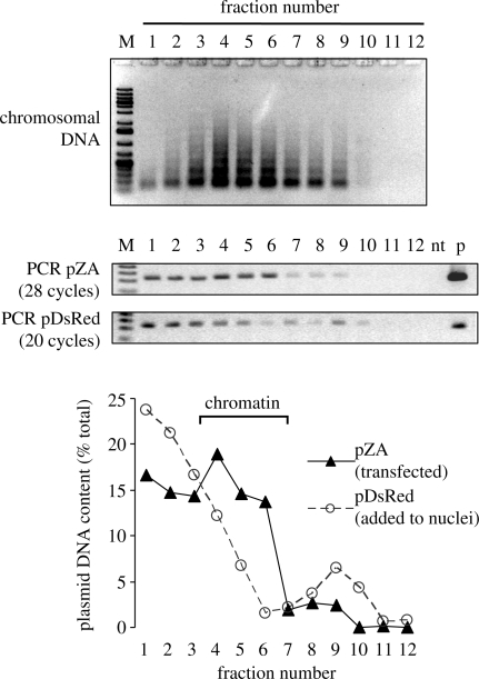 Association of the transfected plasmid with chromatin. Nuclei isolated from HeLa cells 24 h after transfection with undamaged pZA were mixed with pure pDsRed plasmid and treated with MNase as described in 'Materials and Methods' section. (Top) Agarose gel electrophoresis of the fractions obtained by isopycnic centrifugation of the MNase-treated nuclei and of the products of PCR performed with diluted fractions of the same CsCl gradient (numbers indicate the gradient fractions starting from the bottom). M, molecular size marker; nt, no template; p, plasmid DNA. (Bottom) Distribution of the two plasmids (transfected and naked) between the gradient fractions.