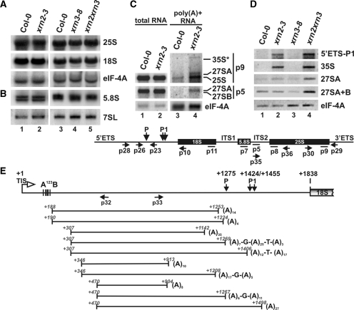Polyadenylated mature, precursor and intermediate rRNAs accumulate in the absence of AtXRN2. ( A and B ) Northern analysis of mature rRNAs in xrn2 and xrn3 mutants. Total RNA was extracted from wild-type, xrn2-3 , xrn3-8 and xrn2-1 xrn3-3 seedlings and separated on 1.1% agarose ( A ) or 6% polyacrylamide ( B ) gels and hybridized with probes specific for 5′ regions of 25S ( p8 ) and 18S rRNAs ( p10 ) as well as 5.8S ( p7 ). Hybridizations for eIF-4A mRNA and 7SL RNA ( p13 ) were used as loading controls. ( C ) Northern analysis of total and poly(A) + RNA extracted from wild-type and xrn2-3 inflorescences, using probes p9 (25S rRNA) and p5 (27S pre-rRNA). rRNA, pre-RNA and intermediates detected in (A–C) are indicated on the right. ( D ) RT-PCR on total RNA from wild-type, xrn2-3 , xrn3-8 and xrn2-1 xrn3-3 lines. Reverse transcription was performed using oligo(dT) 20 and PCR using primers p28 and p23 for detection of the 5′ETS fragment, p10 and p26 for 35S, p29 and p30 for 27SA, and p35 and p36 for both 27SA/27SB pre-rRNAs. RT-PCR for eIF-4A was used as a control. The structure of the pre-rRNA with location of probes (solid lines) and PCR primers (arrows) used is shown below. ( E ) CRT-PCR on poly(A) + RNA extracted from xrn2-3 inflorescences. Top diagram represents the structure of 5′ETS with primers used for PCR. Indicated are: transcription initiation site TIS (+1); conserved cluster A 123 B; cleavage sites P (+1275) and P1 (+1423/+1454); 5′-end of 18S rRNA (+1836). RNA fragments identified as sequenced clones are represented below as horizontal lines, their 5′ -and 3′-ends are shown in italics and the number of adenine residues is indicated at the 3′-end of each molecule.