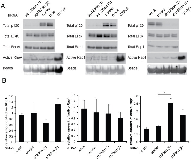 p120ctn depletion does not affect RhoA or Rac1 activity but increases Rap1 activity. DU145 cells were transfected with siRNAs for p120ctn (p120ctn (1), (2)), control siRNA (control) or with transfection reagent only (mock). After 72 h cells were lysed and incubated with GST-Rhotekin-RBD, GST-PAK1-PBD or GST-RalGDS-RBD on glutathione beads to pull down active RhoA, Rac1 and Rap1 respectively. Lysates of mock-transfected cells incubated with GTPγS to preload GTPases were used as a positive control for pulldown assays. (A) Example immunoblots for GTPase activity assays. ERK levels on immunoblots were used as a loading control. Ponceau staining of immunoblots shows the levels of GST-fusion proteins. (B) Graphs show data from 3 (RhoA, Rac1) or 4 (Rap1) independent experiments and results are compared to total RhoA, Rac1, Cdc42 and normalised to control. Error bars represent SEM. * p
