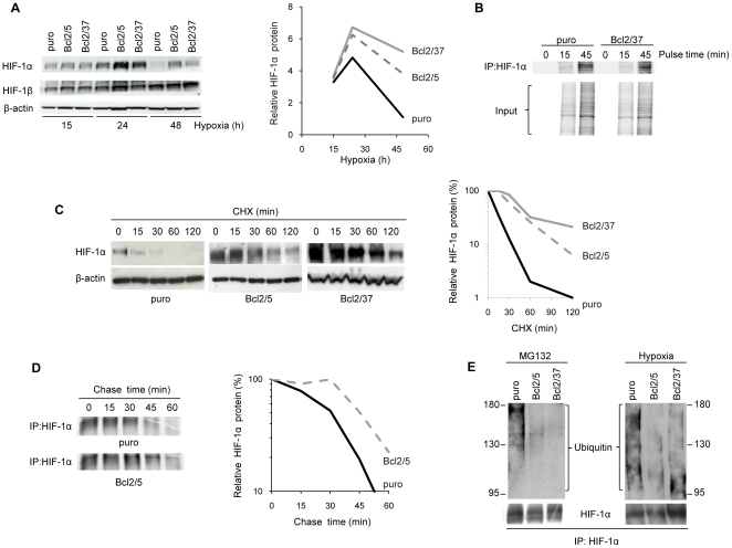 bcl-2 promotes HIF-1α protein stability preventing its ubiquitin-mediated degradation. (A) Western blot analysis (left panel) and quantification (right panel) of HIF-1α protein expression in M14 control (puro) and bcl-2 stably overexpressing (Bcl2/5, Bcl2/37) clones exposed to hypoxia for the indicated time. (B) Pulse analysis of HIF-1α protein synthesis rate in cells exposed to [ 35 S]–labeled methionine and cysteine for the indicated time. (C) Western blot analysis (left panel) and quantification (right panel) of HIF-1α protein expression in cells exposed to hypoxia for 24 h and then treated with Cyclohexamide (CHX, 50 µg/ml) for the indicated time. (D) Pulse-chase analysis of HIF-1α protein (left panel) and quantification (right panel) in cells plated under dense conditions, pulsed for 45 min with [ 35 S]–labeled methionine and cysteine and chased for the indicated time. (B,D) Whole cell lysates were immunoprecipitated (IP) with anti-HIF-1α antibody and subjected to SDS-PAGE. (E) Western blot analysis of HIF-1α ubiquitination in the cells exposed to MG132 (10 µM, 6 h) or to hypoxia for 24 h. Whole cell lysates were immunoprecipitated (IP) with anti-HIF-1α antibody and then the Western blot analysis was performed using anti-Ubiquitin antibody. (A,C) β-actin protein amounts are used to check equal loading and transfer of proteins and to quantify relative HIF-1α protein levels. (A–E) Western blot, pulse and pulse-chase analyses representative of two independent experiments with similar results are shown. (A,C,D) Densitometric analysis (right panel) of the relative Western blot or Pulse-chase analysis (left panel) was performed using Molecular Analyst Software and normalized with relative controls.