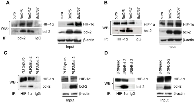 bcl-2 interacts with HIF-1α. (A) Analysis of HIF-1α/bcl-2 protein interaction in M14 control (puro) and stably bcl-2 overexpressing (Bcl2/5, Bcl2/37) clones exposed to hypoxia for 24 h. Whole cell lysates were immunoprecipitated (IP) with anti-bcl-2 or control (IgG) antibodies and then the Western blot analysis was performed using anti-HIF-1α and anti-bcl-2 antibodies. Analysis of HIF-1α/bcl-2 protein interaction in (B) M14 control (puro) and stably bcl-2 overexpressing (Bcl2/5, Bcl2/37) clones or (C,D) in PLF2 and JR8 control cells (PLF2/puro, JR8/puro) and stably bcl-2 overexpressing (PLF2/Bcl-2, JR8/Bcl-2) cells, exposed to MG132 (10 µM, 6 h). Whole cell lysates were immunoprecipitated with anti-HIF-1α or control (IgG) antibodies and then the Western blot analysis was performed using anti-HIF-1α and anti-bcl-2 antibodies. (A–D) β-actin protein amounts are used to check equal loading and transfer of proteins. Western blot analyses representative of two independent experiments with similar results are shown.