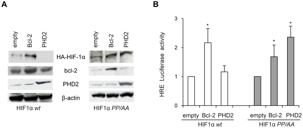 HIF-1α prolyl hydroxylation is not required for bcl-2-induced increase of HIF-1α expression and HIF-1 activity in hypoxia. (A) Western blot analysis of HIF-1α, bcl-2 and PHD2 protein expression and (B) HRE-dependent transcriptional activity in M14 cells stably expressing HA-HIF-1α wild-type (HIF1α wt ) or mutated (HIF1α PP/AA ), after transiently transfection with control vector (empty), bcl-2 or PHD2 expressing vectors, and then exposure to hypoxia for 24 h. (A) β-actin protein amounts are used to check equal loading and transfer of proteins. Western blot analyses representative of two independent experiments with similar results are shown. (B) Relative luciferase activity of each sample were normalized to the control vector transfected cells. Results represent the mean ± SD of 3 independent experiments performed in triplicate, * p≤0.01.
