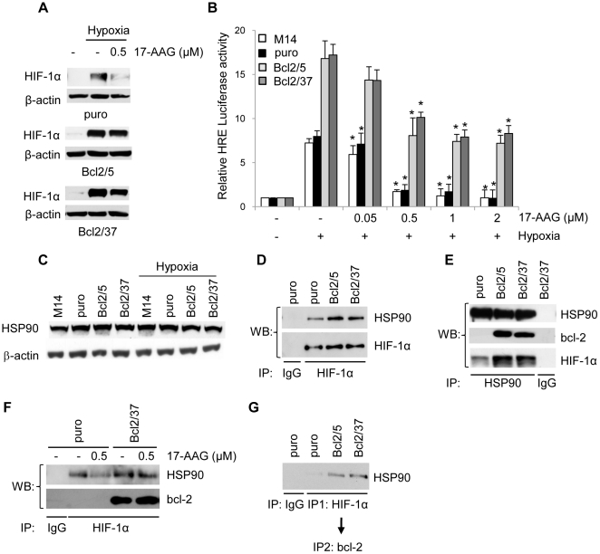 bcl-2 forms a complex with HSP90 and HIF-1α proteins. (A) Western blot analysis of HIF-1α protein expression in M14 control cells (puro) and bcl-2 stably overexpressing (Bcl2/5, Bcl2/37) clones treated with 17-AAG under hypoxia or exposed to normoxia for 24 h. (B) HRE-dependent transcriptional activity in the cells treated with 17-AAG from 0.05 to 2 µM under hypoxia or exposed to normoxia for 24 h. Relative luciferase activity of each sample was normalized to untreated cells exposed to normoxic conditions. Results represent the average ± SD of 3 independent experiments performed in triplicate. p values were calculated relative to untreated cells exposed to hypoxic conditions, *p≤0.01. (C) Western blot analysis of HSP90 protein expression in parental M14 cells, control (puro) and bcl-2 stably overexpressing (Bcl2/5, Bcl2/37) clones. (D) Analysis of HIF-1α/HSP90 interaction in the cells exposed to hypoxia for 24 h. Whole cell lysates were immunoprecipitated (IP) with anti-HIF-1α or control (IgG) antibodies and then the Western blot analysis was performed using anti-HSP90 and anti-HIF-1α antibodies. (E) Analysis of HSP90/HIF-1α and HSP90/bcl-2 interactions in the cells exposed to hypoxia for 24 h. Cell lysates were immunoprecipitated (IP) with anti-HSP90 or control (IgG) antibodies and then the Western blot analysis was performed using anti-HIF-1α, anti-bcl-2 and anti-HSP90 antibodies. (F) Analysis of HIF-1α/HSP90 and HIF-1α/bcl-2 interactions in the cells treated with 0.5 µM 17-AAG for 24 h under hypoxia. Whole cell lysates were immunoprecipitated (IP) with anti-HIF-1α antibody and then the Western blot analysis was performed using specific anti-HSP90 and bcl-2 antibodies. (G) Analysis of HSP90/HIF-1α/bcl-2 protein complex in the cells exposed to hypoxia for 24 h. Whole cell lysates were sequentially immunoprecipitated with anti-HIF-1α (IP1) and anti-bcl-2 antibodies (IP2) and then the Western blot analysis was performed using anti-HSP90 antibody. (A,C) β-actin protein amounts are used to check equal loading and transfer of proteins.