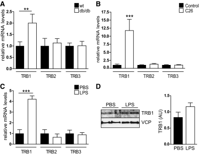 TRB1 expression in WAT is elevated in acute and chronic inflammation. A–C : Quantitative PCR analysis of TRB1, TRB2, or TRB3 mRNA levels in abdominal WAT of wild-type (wt) and obese db/db mice ( A ), healthy control and tumor-bearing cachectic (C26) CD2F1 mice ( B ), and control (PBS)- and LPS-injected C57BL6 mice (means ± SE, n = 5). * P ≤ 0.05; ** P ≤ 0.01; *** P ≤ 0.001. D : Western blot of WAT extracts from two representative control (PBS)- or LPS-injected animals as in C using antibodies against TRB1 or valosin-containing protein (VCP). Relative amounts of TRB1 protein levels normalized to VCP protein levels shown. AU, arbitrary units.