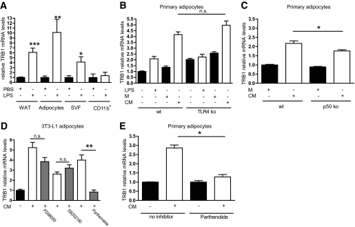 TRB1 expression is under the control of cytokine signaling in an adipocyte-autonomous manner. A : Quantitative PCR analysis of TRB1 mRNA levels in WAT depots, mature adipocytes after separation from SVFs, SVF- or CD11b + -enriched cellular fractions from WAT depots. B and C : Quantitative PCR analysis of TRB1 mRNA levels in primary adipocytes derived from the stromal-vascular WAT fractions of wild-type (wt) and TLR4 ( B ) or p50 ( C ) knockout (ko) mice. Cells were treated with LPS and LPS-conditioned (conditioned medium [CM]) or non–LPS-conditioned (control [M]) macrophage supernatant as indicated. D and E : Quantitative PCR analysis of TRB1 mRNA levels in mature adipocytes derived from 3T3–L1 preadipocytes ( D ) or the SVF of wild-type mice ( E ). Cells were pretreated with inhibitors against p38 (SB202190), the ERK (PD98059), and NF-κB (parthenolide) pathways and subsequently stimulated with LPS-conditioned (conditioned medium [CM]) or non–LPS-conditioned (control [M]) macrophage supernatant as indicated (means ± SE, n = 5). * P ≤ 0.05; ** P ≤ 0.01; *** P ≤ 0.001. n.s., non significant.