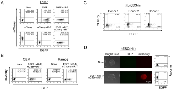 The reporter vectors containing miRNA targets show the lineage-specific expression. (A) U937 cells were infected with lentiviral vectors encoding various reporters showed in Fig. 1 A. Expression levels of EGFP and mCherry were analyzed by flow cytometry 2 days post-infection. (B and C) CEM and Ramos cells (B) and CD34+ HPSCs derived from 3 independent donors (C) were infected with a lentiviral vector encoding EGFP miR-T/mCherry miR-T. Expression levels of EGFP and mCherry were analyzed by flow cytometry 2 days post-infection. (D) hESCs (H1) were infected with a lentiviral vector encoding EGFP miR-T/mCherry miR-T. Single cell clone was isolated by culturing transduced cells in the presence of 10 µM Y27632 for 14 days. Expression levels of EGFP and mCherry were analyzed by fluorescence microscopy and by flow cytometry. The number (%) in each quadrant is listed on each plot.