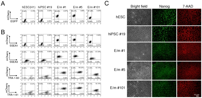 Transduction of the reporter vector containing miRNA targets does not grossly affect expression of hESC-specific markers. (A and B) Single-cell suspensions of hESC (H1), hiPSCs transduced with a lentiviral vector encoding EGFP miR-T/mCherry miR-T (E/m#1, E/m#5, and E/m#101) or untransduced (hiPSC#19) were analyzed for the expression of EGFP and mCherry (A) and that of hESC-specific markers (SSEA1, SSEA3, TRA1-60, and TRA-1-81) (B) by flow cytometry. The number (%) in each quadrant is listed on each plot. (C) hESCs (H1), hiPSCs transduced with a lentiviral vector encoding EGFP miR-T/mCherry miR-T (E/m#1, E/m#5, and E/m#101) or untransduced (hiPSC#19) were plated on poly-L-lysine and Matrigel coated glass coverslips and expanded for a week. Cells were then fixed with 1% formaldehyde, permeabilized with 0.2% Triton X-100 for 5 min on ice, and stained with anti-Nanog antibody and DyLight488 conjugated anti-rabbit IgGs. 7-amino-actinomycin D (7-AAD) was used for nuclear staining.