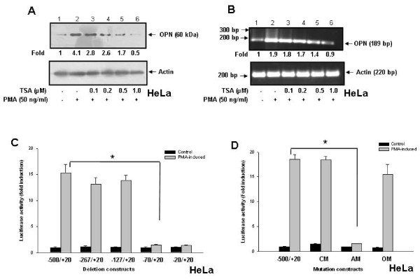 TSA suppresses PMA-induced OPN transcription in HeLa cells . A . HeLa cells were preincubated with 0-1 μM TSA for 1 h followed by treatment with PMA (50 ng/ml) for 6 h. Whole cell lysates were analyzed by western blot using anti-OPN antibody. B . HeLa cells were pretreated with TSA followed by PMA under similar conditions as described above. Total RNA was isolated and OPN mRNA levels were detected by semiquantitative RT-PCR and analyzed by agarose gel electrophoresis. Actin was used as control. The data represents three experiments exhibiting similar results. C . HeLa cells were cotransfected with hOPN promoter deletion constructs (-500/+20, -267/+20, -127/+20, -70/+20 and -20/+20) containing luciferase reporter gene along with renilla luciferase vector, pRL followed by stimulation with PMA. The luciferase activity was measured in cell lysates and normalized to Renilla luciferase activity. Fold-changes in luciferase activity with respect to control were calculated. Columns, mean of triplicate determinations; bar, S.D. *, p