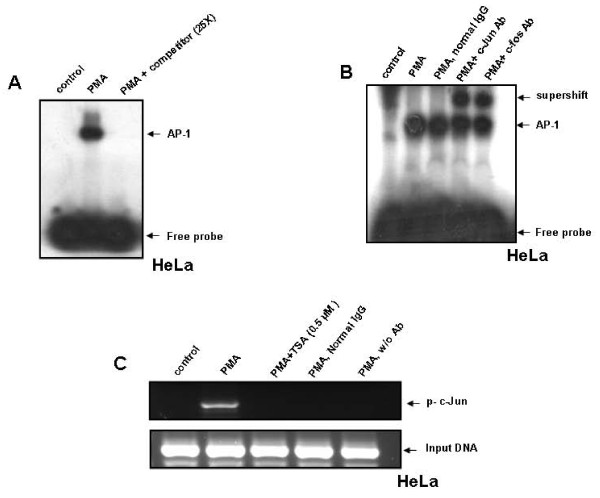 PMA induces AP-1 DNA binding to the OPN promoter in HeLa cells . A . HeLa cells were treated with PMA (50 ng/ml) for 2 h. Nuclear extracts were prepared and incubated with 32 P-labeled probe containing AP-1 binding site of OPN promoter and analyzed by EMSA. B . For supershift assay, nuclear extracts from PMA-treated HeLa cells were incubated with anti-c-Jun or anti-c-Fos antibody and then analyzed by EMSA. C . HeLa cells were pretreated with TSA (0.5 μM) for 1 h and then with PMA (50 ng/ml) for 2 h. Cross-linked chromatin fragments were immunoprecipitated with anti-p-c-Jun antibody and was PCR amplified using specific primers derived from the region of OPN promoter containing AP-1 binding site. For negative controls, normal mouse IgG was used or specific antibody was omitted.