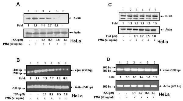 TSA blocks PMA-induced c-Jun but not c-Fos expression in HeLa cells . A and C . HeLa cells were pretreated with TSA (0-1 μM) for 1 h followed by treatment with PMA (50 ng/ml) for 2 h. Cell lysates (50 μg) containing equal amount of total proteins were analyzed by western blot using either anti-c-Jun or anti-c-Fos antibody. B and D . HeLa cells were pretreated with TSA and then with PMA under similar conditions as described above. Total RNA was isolated and the levels of c-jun and c-fos mRNAs were detected by semiquantitative RT-PCR. Actin was used as control.