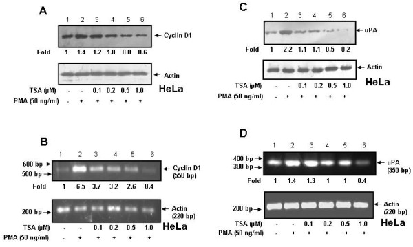 Effect of TSA on cyclin D1 and uPA expression at protein and RNA levels in HeLa cells . A and C . HeLa cells were pretreated with TSA (0-1 μM) for 1 h followed by treatment with PMA (50 ng/ml) for 6 h. Cell lysates were analyzed by western blot using anti-cyclin D1 or anti-uPA antibody. B and D . Total RNA was isolated from HeLa cells treated under similar conditions and cyclin D1 and uPA mRNA levels were detected by semi-quantitative RT-PCR. Actin was used as loading control for both western blot and RT-PCR.