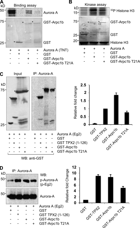 Phosphorylation of Arpc1b on Thr 21 regulates its interaction with Aurora A. (A) In vitro–translated 35 S-labeled Aurora A was used to study its binding with GST, GST-Arpc1b, or GST-Arpc1b T21A. The extent of binding was estimated by measuring signal intensity. Ponceau-stained blot shows equal quantity of GST-tagged proteins used for each reaction. (B) GST, GST-Arpc1b, and GST-Arpc1b T21A were used in an in vitro kinase assay with recombinant Aurora A protein. Phosphorylated histone H3 was visualized by autoradiography. Ponceau-stained blot shows equal amount of histone H3 and GST-tagged proteins used for the study. Circle marks GST-fused protein of interest. (C) The 1C1 monoclonal antibody to Xenopus Aurora A (Eg2) was used to immunoprecipitate Eg2 from CSF egg extract supplemented with GST control, GST-TPX2 (1–126), GST-Arpc1b, or GST-Arpc1b T21A and the bound proteins were analyzed by Western blotting using anti-GST antibodies. Asterisk denotes the GST-fused protein of interest. Bar plot shows fold change quantitated from three experiments. (D) A phospho-specific antibody that recognizes phospho-Thr 295 of Eg2 was used to study the extent of activation of Aurora A (top panel). Bottom panel shows equal amount of Aurora A used in all the reactions. Bar plot shows fold change quantitated from three experiments. kD, kilodaltons.