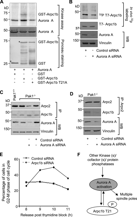 Arpc1b: a new <t>Aurora</t> A substrate. (A) Kinase assay for <t>GST-Arpc1b</t> and GST-Arpc1b T21A proteins in presence of Aurora A. Aurora A in the middle panel indicates comparable amounts of protein loading. Ponceau-stained blot shows equal quantity of GST-tagged proteins used for the study. Asterisk denotes the GST-fused protein of interest. (B) In vivo phosphorylation of T7-tagged Arpc1b in the Pak1 −/− MEFs treated with control or Arpc1b siRNA. (Top to bottom): [ 32 P]T7-Arpc1b, T7-Arpc1b, Aurora A, and vinculin. (C) Western blot showing extent of Arpc2 immunoprecipitated with Arpc1b from Pak1 +/+ or Pak1 −/− cells after Aurora A knockdown (top panel), effective Arpc1b pull-down (second panel), and effective knockdown of Aurora A (third panel). Vinculin was used as an internal control. (D) Western blot showing extent of Arpc1b immunoprecipitated with Arpc2 from the Pak1 −/− cells after Aurora A knockdown (second panel), effective Arpc2 pull-down (top panel), and effective knockdown of Aurora A (third panel). Vinculin was used as an internal control. (E) Pak1 −/− cells (synchronized in G1-S phase) transfected with either control or Arpc1b siRNAs were scored for the percentage of cells in G2-M phase at the indicated time points after release from G1-S arrest using FACS analysis; n = 3. (F) Proposed model explaining the role for threonine 21 phosphorylation on Arpc1b in Aurora A activation leading to centrosome amplification. WB, Western blot; IP, immunoprecipitation; kD, kilodaltons.