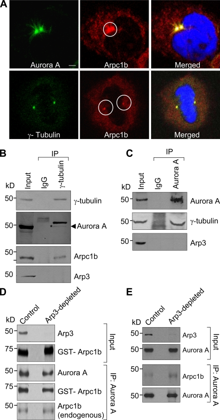 Arpc1b localizes to the centrosome. (A) Synchronized ZR-75 cells were released for 6 h and analyzed for endogenous Arpc1b colocalization with centrosomal proteins Aurora A and γ-tubulin. Aurora A and γ-tubulin (green); endogenous Arpc1b (red); DNA (blue). Circle marks centrosome location. Bar, 5 µm. (B) Equal amount of cell extract was immunoprecipitated with control IgG or γ-tubulin antibody from the synchronized cells (top panel). The same blot was probed for Arpc1b (second last panel) and Arp3 (last panel). The blot was stripped and probed for Aurora A (second panel). (C) Equal amount of cell extract was immunoprecipitated with control IgG or Aurora A antibody (top panel). The same blot was probed for γ-tubulin (second panel) and Arp3 (last panel). Input, cell lysate used as positive control. (D) Xenopus egg extract was treated with either GST (control) or GST-WASP-CA (Arp3 depletion) and used for IP experiments. The Western blot shows Arp3 depletion in GST-WASP-CA–treated egg extract (top panel) and the GST-Aprc1b (second panel) used for the study. Aurora A was immunoprecipitated from the treated egg extract and incubated with GST-Arpc1b protein. The Western blot shows immunoprecipitated Aurora A and GST-Arpc1b or endogenous Arpc1b in complex with Aurora A in control and Arp3-depleted egg extract. (E) Aurora A was immunoprecipitated from the treated egg extract. Western blot shows immunoprecipitated Aurora A and endogenous Arpc1b in complex with Aurora A in control and Arp3-depleted egg extract. kD, kilodaltons.