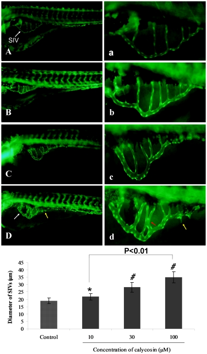 The effects of calycosin treatment on blood vessel formation in SIVs of Tg(fli1:EGFP) zebrafish embryos. (A) Control: embryo treated with 0.1% DMSO at 96 hpf, SIVs appear as a smooth basket-like structure. (B–D) Calycosin: embryo treated with 10, 30, 100 µM calycosin at 72 hpf for 24 h, leads to enlarged SIV basket stretching into the posterior yolk extension. (a–d) Enlarged SIV region (×4.5) of A–D respectively. White arrows indicating the enlarged vessels, yellow and red arrows indicate sprouting and intersectioning branches respectively. (E) Calycosin increases SIV diameter in a dose-dependent manner. Data are plotted as mean±SEM, (n = 3), *P