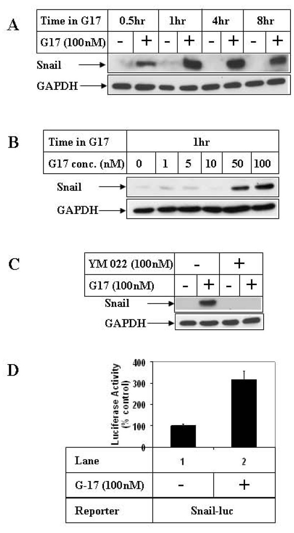 Effect of G17 on Snail expression in gastric cancer cells . (A) AGSE cells were treated as in 1A or (B) 1B above and subjected to Western Blot analysis utilizing antibodies against Snail and GAPDH (as control). (C) Western Blot analysis of cell extracts with the indicated antibodies, treated with 100 nM G17 for 1 hour, following an overnight pretreatment with 100 nM YM 022. (D) Subconfluent AGSE cells were transiently transfected with Snail-luciferase vector (Snail-luc) along with β-Gal vector (for normalization of transfection). Forty-eight hours after transfection, cells were treated overnight in the presence (+) or absence (-) of 100 nM G17, and luciferase and β-Gal assays were performed. The RLU/β-Gal values were represented as percent control, considering the untreated samples as 100%. Each transfection was performed in triplicate, and the data represent the mean ± SD of at least two independent experiments.