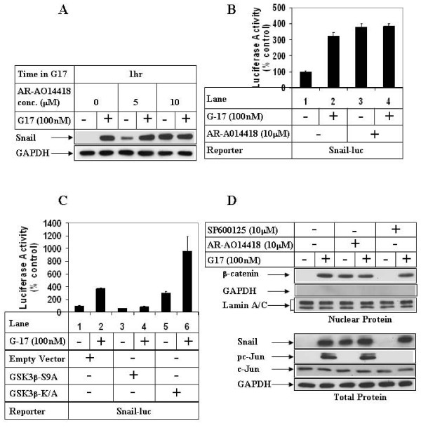 Effect of GSK3β inhibition on G17-induced Snail expression and β-catenin nuclear translocation . (A) AGSE cells were treated with (+) or without (-) 100 nM G17, following an overnight pretreatment with either none (lanes 1, 2), 5 μM (lanes 3, 4) or 10 μM (lanes 5, 6) AR-A014418. Western Blot analysis was then performed with the antibodies indicated. (B) Luciferase (with Snail-luc) and β-Gal assays were performed as in 2D following a 1 hour pretreatment with AR-A014418. (C) AGSE cells were co-transfected with Snail-luc and β-Gal vectors along with either Empty vector (lanes 1, 2), GSK3β-S9A mutant vector (lanes 3, 4) or GSK3β-K/A mutant vector (lanes 5, 6). Luciferase and β-Gal assays were performed after G17 treatment as in 2D. Each transfection (3B, 3C) was performed in triplicate, and the data represent the mean ± SD of at least two independent experiments. (D) Upper Panel : Confluent AGSE cells were treated with G17 for 8 hours after an overnight pretreatment with none (lanes 1, 2), or AR-A014418 (lanes 3, 4) or SP600125 (lanes 5, 6). At the end of treatment, nuclear protein was isolated and subjected to Western Blot analysis with antibodies against β-catenin, GAPDH (cytoplasmic protein) or Lamin A/C (nuclear protein). Lower Panel : Cells were pretreated as in the upper panel, followed by 1 hour G17 treatment and Western Blot analysis.